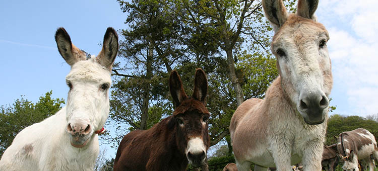 Donkeys at the Donkey Sanctuary