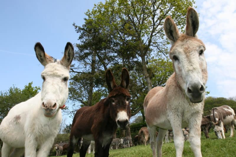 Berry Hannah and Napoleon at Paccombe Farm Photo Copyright of The Donkey Sanctuary