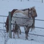 Iceland - Horseguard