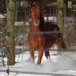 NORWAY Horseguard