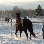 SWEDEN Horseguard