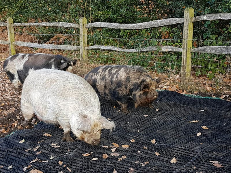 Fieldguard Mats for pigs using M9 mesh and M52LO heavy duty grass mats